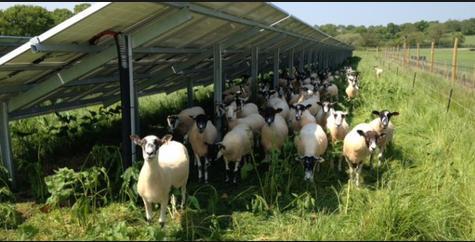 scot solar sheep